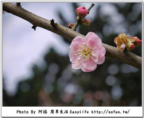 [隨拍] 台北市區賞花私房景點。漫步中正紀念堂賞梅花、櫻花趣 ~