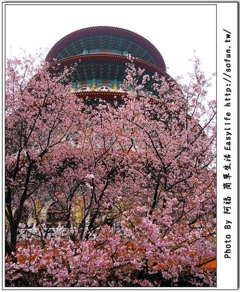 [景點] 台北淡水。無極天元宮櫻花@滿滿吉野櫻盛開啦 ~ 賞花趣